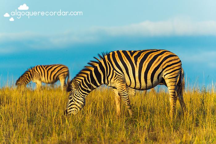 cebras sudafrica