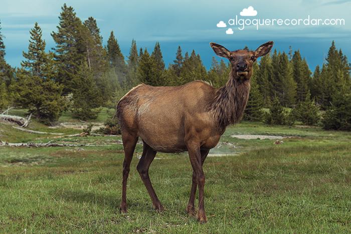 Ciervo de Yellowstone
