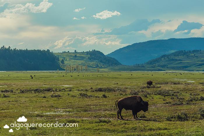 Lammar Valley Yellowstone