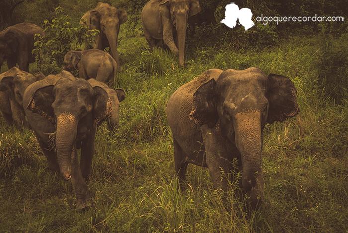 elefantes_sri_lanka_algo_que_recordar